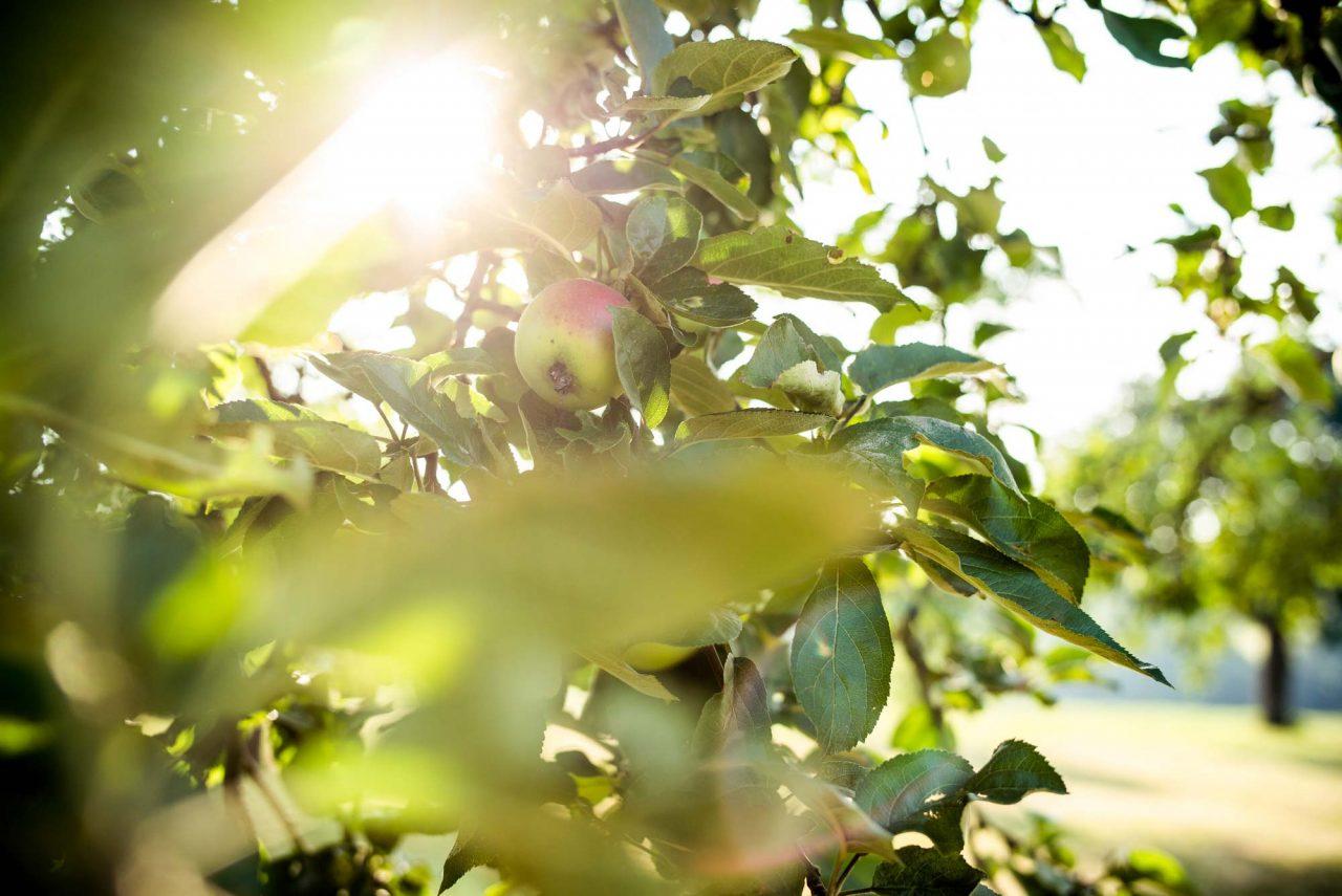 Apfel Obstbaumschnitt bei Busch Baumpflege