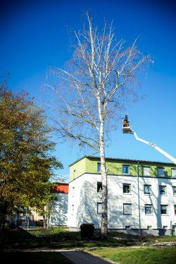 Baumfällung mit Hubsteiger - Busch Baumpflege