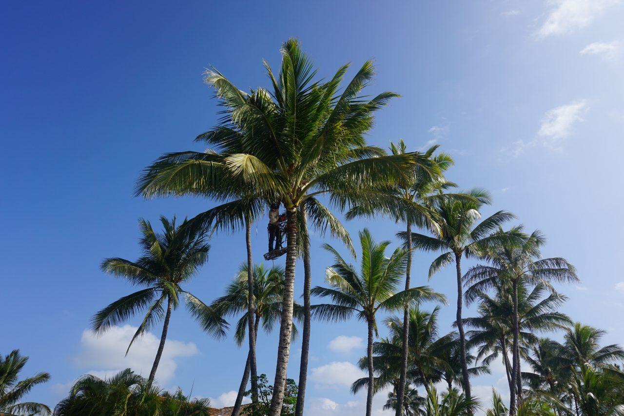 Even Desmarias palm trimming near Kukuiula Boat Harbor